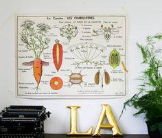 french botanical chart genuine vintage carrot