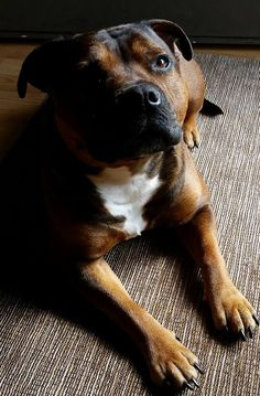Pensive #Staffordshire #Terrier
