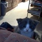It's all in the ears, when Perci the kitten practices her attack stance. so cute! <3