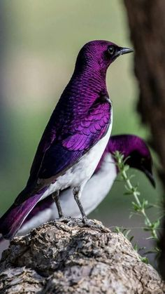 Bird photography and picture Violet backed starling Kinds Of Birds, All Birds, Cute Birds, Pretty Birds, Beautiful Creatures, Animals Beautiful, Cute Animals, Exotic Birds, Colorful Birds