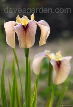 Bloom for Feb 21, 2012 is Species Iris 'Kinshikou'.  Photo by EROCTUSE2.