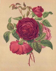 Deuil du Prince Albert, Le Livre D'Or des Roses (The Golden Book of Roses), Paris, 1885 chromolithograph botanical print by Paul Heriot