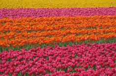 Tulips Field, Holland.
