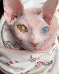 """""""Little bundle of Rosie love 💕 - Cute Cats And Kittens, I Love Cats, Kittens Cutest, Spinx Cat, Cute Hairless Cat, Devon Rex Cats, Photo Chat, Majestic Animals, Kitten Gif"""