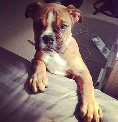 #collarbuddies #collarbuddies #boxer #boxers # boxerdog #boxerdogs #boxerpuppies #boxerclub #iloveboxer #boxerbaby #boxersofinstagram #boxeraddict #boxerlove #boxerfriend #boxerworld #boxernation #boxergram #twitter #newton