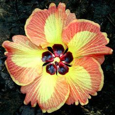 Growing hibiscus is a very easy way to include an exotic flair to your garden. Hibiscus Bush, Growing Hibiscus, Hibiscus Flowers, Exotic Flowers, Tropical Flowers, Amazing Flowers, Beautiful Flowers, Lilies Flowers, Purple Flowers
