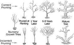 Pruning Trees Tree Shrubs A Bottle Brush