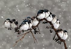 Snow Birds in December
