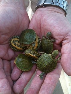 red-eared sliders…We had these little cuties as pets when I was a kid.