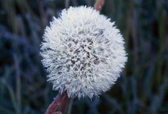 Frost On Mature Dandelion (Yellow) Blossom Poster Print (36 x 24)