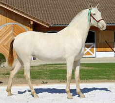 Pura Raza Española mare, Rebeka, perlino.. This German stud farm breeds PREs for color - dilutes and flaxen chestnuts - as well as moderate warmblood typiness to compete in international dressage.