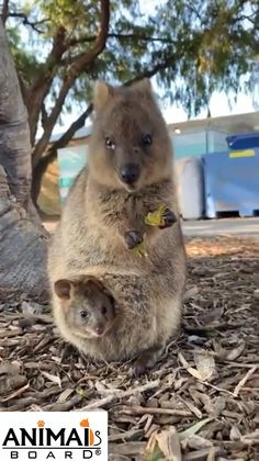 Cute Quokka Family 🥰❤️ - Animals - Welcome Haar Design The Animals, Nature Animals, Wild Animals, Cute Animal Videos, Cute Animal Pictures, Cute Funny Animals, Cute Baby Animals, Cutest Animals, Quokka Baby
