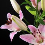 Vermeer Asian Lilies, Lily, Plants, Pink, Orchids, Flora, Plant, Lilies