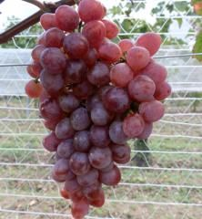 Vinič stolový rezistentný ´NO. 8´ 30-40 cm, voľnokorenný