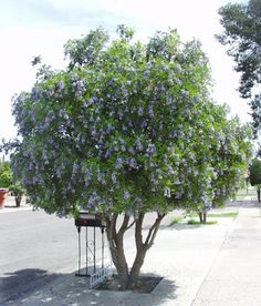 Texas Mountain laurel (Sophora secundiflora) Planted by our mailbox (NOT the one in the photo) a couple of feet to the west of and almost behind the mailbox to give it a little afternoon shade during our hot, hot summers. Both the foliage and the blooms on this tree smell like artificially flavored grape candy (or grape Kool-Aide). This shrubby tree will grow only to about 12 feet tall. It blooms very large, showy blueish lavender flowers that grow in huge drooping clusters. Origin: Mexico.