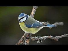 Sinitiainen Blue Jay, Bird, Animals, Animales, Animaux, Birds, Animal, Animais