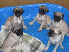 Purebred Fawn and Black Pug Puppies, Southern Vermont, 8/6/12. These are mine. Must be met and picked up in person. $525. Contact me via the website with this pin. In case some of your followers are looking for pugs and are in New England in the USA, please repin. Much thanks ~ B. Brow