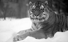 Animals & Birds Tigers Black And White Tiger Snow Wide Wallpaper ...