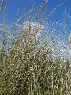 Quaking grass.