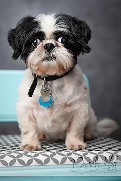 Shih Tzu portrait - Ohio dog photographer via www.danielleneil.com