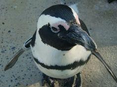 Sweet penguin loves camera @ Wilhelma zoo in Stuttgart (Germany)