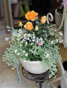 ミニバラ・マンダリン、ネメシア、シレネ、春の花寄せ植え。 | サザンフィールドのガーデニング日記。