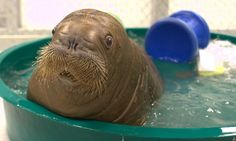 A baby walrus is going to New York Aquarium. Would you consider a 15 week old baby, weighing 234 pounds adorable? You probably would if that baby is a walrus. Baby Animals Pictures, Cute Animal Pictures, Cute Baby Animals, Funny Animals, Funny Pictures, Newborn Animals, So Cute Baby, Cute Babies, Big Baby