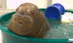 Baby walrus!