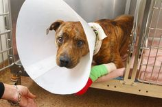 Five weeks after being dragged behind his owner's SUV, Gotti is healing well and ready for a new home.  In early October his owner Daniel Delaney Jr., who was jailed on an animal-cruelty charge following the incident, drove away with poor Gotti tied to the back of his vehicle.  He claims he forgot that the dog was tied up and expressed remorse for his actions but has been in jail ever since, unable to post bail.