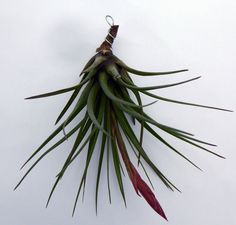 Air plant, Tillandsia tricolor, flowering now. Ideal for windowsills - great gift for home & office by HomePlants on Etsy