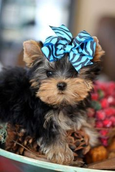 The Popular Pet and Lap Dog: Yorkshire Terrier - Champion Dogs Teacup Yorkie, Teacup Puppies, Cute Puppies, Cute Dogs, Mini Yorkie, Tiny Puppies, Yorky Terrier, Yorshire Terrier, Bull Terriers