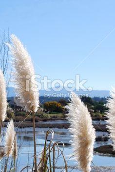 'Toitoi' or 'Toetoe' Grass, Mapua Estuary, NZ Royalty Free Stock Photo Fall Photos, Image Now, Grass, Royalty Free Stock Photos, Magic, Flowers, Plants, Photography, Beautiful