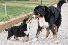 animali e natura : Bovaro del bernese - le razze