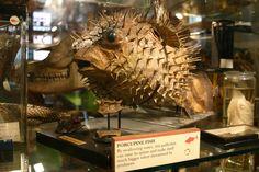 Porcupine Fish.