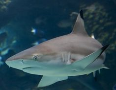 Black Tip Shark, Best Fishing, Sharks, Whale, Bones, Shark Fish, Skeleton, Tattoo, Animales