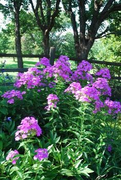 Fall phlox, summer and spring phlox and a new phlox that I hope will be lovely.  Just planting it now.