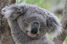 Koala, as Aussie as vegemite