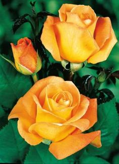 'Whisky' est un superbe #rosier buisson d'un jaune très caractéristique...