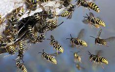 Google Image Result for http://walkthetowpath.com/wp-content/uploads/2012/02/Hornets_Nest1.jpg