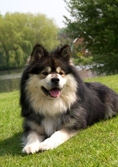 Finnish Lapphund - Looks a lot like Zu!!!! Hey was the dog from my boyfriend....