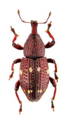hylobius verrucosus