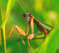 images of praying mantis   Praying Mantis   Flickr - Photo Sharing!