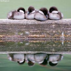 こうすると暖かいよ。鳥たちがぎゅっとひっついて暖をとる「鳥だんご」のある風景 : カラパイア