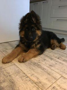 King German Shepherd, German Shepherd Tattoo, German Shepherd Pictures, German Shepherd Puppies, German Shepherds, Funny Dogs, Cute Dogs, Loyal Dogs, Schaefer