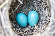 Free Image on Pixabay - Bird, Eggs, Nest, Blue, Wildlife Canon Eos Rebel, E Commerce, Egg Nest, Diy Simple, Blue Eggs, Home Decor Uk, Robins Egg, It Goes On, Getting Pregnant