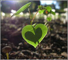 redbud seedling