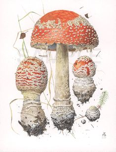 "© Alexander Viazmensky Amanita muscaria watercolor 16"" x 12"" (40.5 x 30.5 cm) Fine art prints are printed on the Ultrachrome Epson 9600 digital printer. The Paper Acid-free, 100% cotton rag, 225 gsm, radiant white Somerset Velvet watercolor paper. Velvet surface for rich detail and accurate reproduction. The Inkset Ustrachrome 7-color archival pigment inks. An inkset designed to achieve the maximum color range and archival stability."