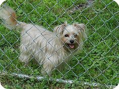 Leeds, AL - Yorkie, Yorkshire Terrier/Maltese Mix. Meet Bailey a Dog for Adoption.