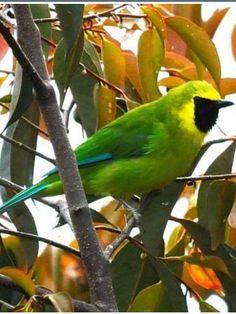 Bornean Leafbird, Chloropsis kina-baluensis: Borneo, MY - (c) Jacques Erard