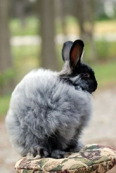 H10 black buck-French Angora Rabbits by vjmarisphotos on Flickr Found on flickr.com